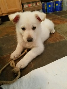 burgin-sonwcloud-german-shepherd-white-male-puppy2-for-sale-6-weeks-old