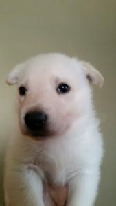 Burgin_Snowcloud_german_shepherd_puppy-for_sale_white_male2_4_weeks_old