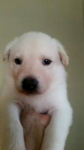 Burgin_Snowcloud_german_shepherd_puppy-for_sale_white_male3_4_weeks_old