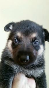 Burgin_Snowcloud_german_shepherd_puppy-sold_black and tan_mfeale_4_weeks_old
