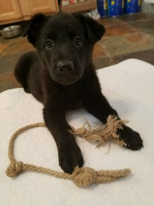 german-shepherd-black-female-puppy-sold-6-weeks-old