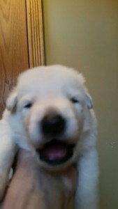Shepherd Puppy White Male2 Livingston Montana For Sale