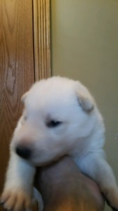 Shepherd Puppy White Male3 Livingston Montana For Sale
