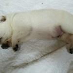 white-male-german-shepherd-puppy-for-sale-2