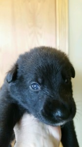 Black male german shepherd puppy for sale