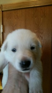White female german shepherd puppy #2 for sale