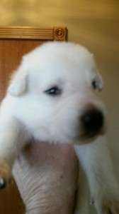 White male german shepherd puppy for sale