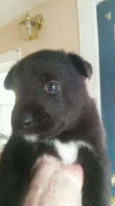 black male  german shepherd puppy for sale four weeks old