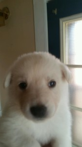 white female 4 german shepherd puppy for sale four weeks old