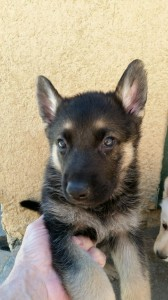 Black and Tan Male Snowcloud German Shepherd Puppy 5 weeks old sold