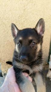 Black and Tan Male Snowcloud German Shepherd Puppy