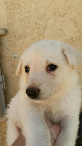 White female Snowcloud German Shepherd puppy-sold. 8-weeks old.