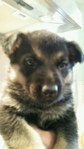 Burgin Snowcloud German Shepherd Puppy Black and Tan Female 5 weeks old sold