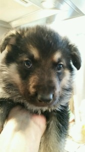 Burgin Snowcloud German Shepherd Puppy Black and Tan Male 5 weeks old sold