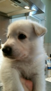 Burgin Snowcloud German Shepherd Puppy White Male2 5 weeks old for sale