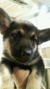 Burgin Snowcloud German Shepherd Puppy Black and Tan Female 6 weeks old sold