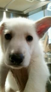 Burgin Snowcloud German Shepherd Puppy White Male2 6 weeks old for sale