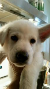 Burgin Snowcloud German Shepherd Puppy White Male3 6 weeks old sold