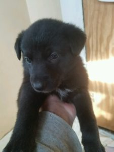 May 17, 2016: Black Female #1 Snowcloud German Shepherd Puppy Sold Bozeman