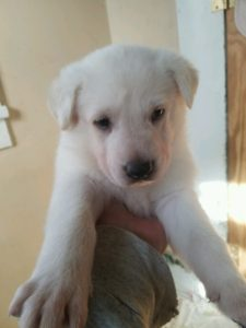 May 17, 2016: White Male #2 Snowcloud German Shepherd Puppy Sold