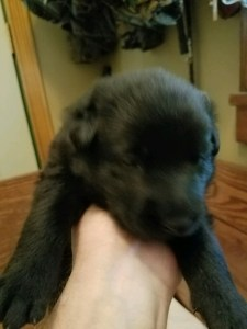 Black female German Shepherd puppy for sale