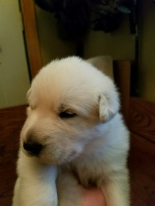 White female puppy for sale