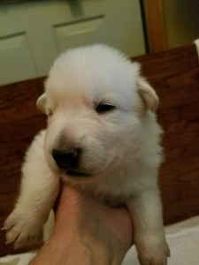 White male puppy #3 for sale