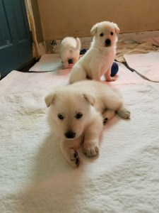 german-shepherd-puppy-4-weeks-old-male-white-for-sale*