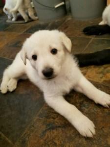 snowcloud-german-shepherd-white-female-puppy-for-sale