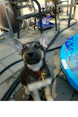 Burgin Snowcloud German Shepherd Black and Tan female puppy,#2 for sale