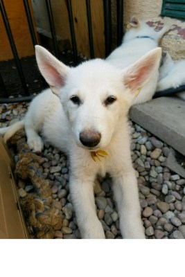 Burgin Snowcloud German Shepherd puppy white female #3, 9 weeks old for sale.