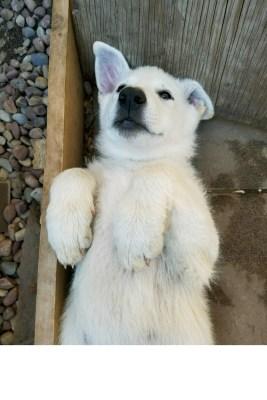 Burgin Snowcloud German Shepherd puppy white female #7, 9 weeks old for sale.