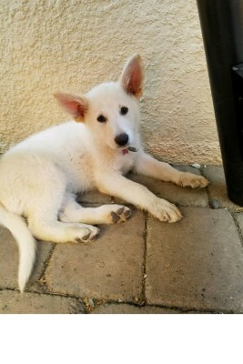 Burgin Snowcloud German Shepherd puppy white female #8, 9 weeks old for sale.