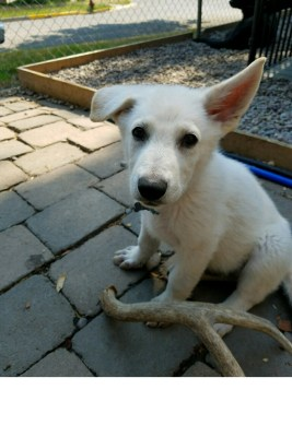 Burgin Snowcloud German Shepherd puppy white male #11, 9 weeks old for sale