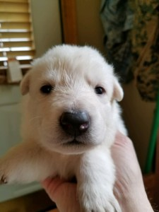 Snowcloud Shepherd Puppy for sale white female 1