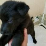 German Shepherd Black Female- all black 5 weeks old sold