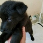 German Shepherd Black Female- all black 5 weeks old sold