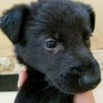 German Shepherd Black Male-with white spot 5 weeks old for sale