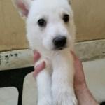 German Shepherd White Female #3 5 weeks old sold