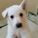 German Shepherd White Male#2 5 weeks old for sale