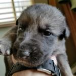 Burgin Snowcloud German Shepherd Puppy for Sale black and tan female #2 two weeks old