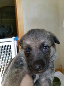 Burgin Snowcloud German Shepherd Puppy for Sale black and tan female may be sable pink collar three weeks old