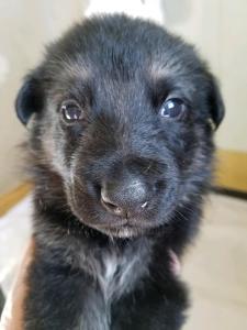 Burgin Snowcloud German Shepherd Puppy for Sale black and tan male green collar three weeks old