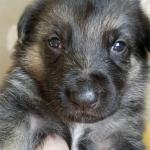 Burgin Snowcloud German Shepherd Puppy for Sale black and tan male with white stripe on chest blue collar three weeks old