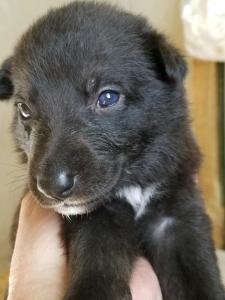 Burgin Snowcloud German Shepherd Puppy for Sale black female beige collar three weeks old