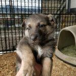 Burgin Snowcloud German Shepherd Puppy for Sale sable female five weeks old