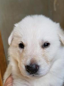 Burgin Snowcloud German Shepherd Puppy for Sale white female purple collar three weeks old