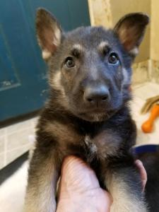 German Shepherd puppy black and tan male red collar 6 weeks old- sold to Carol Brodus MT- thank you