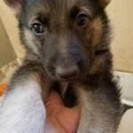 German Shepherd puppy for sale black and tan male light blue collar 6 weeks old