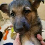German Shepherd puppy sable female pink collar 6 weeks old- sold to Emily, Kalispell, MT